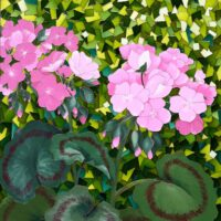 Géraniums roses